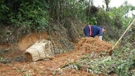 贵州农村妇女丈夫去世后种折耳根撑起一个家 每天挖上百斤愁销路