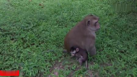 管不动已出生小猴,任他们到处跑撕咬