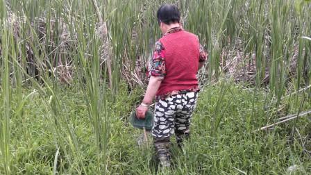 农村外婆野外下龙虾网,外婆也不知道为啥网要盖点野草,你知道吗