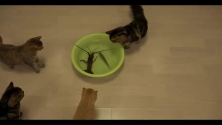 搞笑视频:好奇的猫咪,大龙虾好可怜哦!