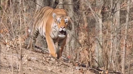 当你在野外被老虎盯上是什么样的感受,这才是真正的虎视眈眈