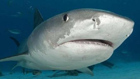 《动物传奇》海洋中具有致命危险的动物——虎鲨
