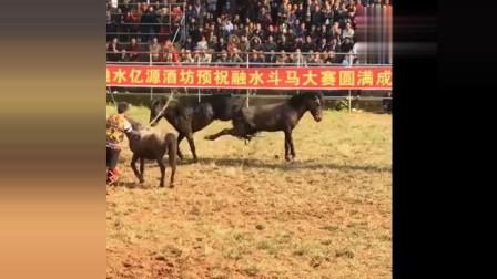 极限斗马比赛,两只马为了母马的交配权,以腿功互踹,太精彩了