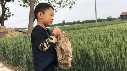 农村老家的小麦长出麦穗了,宝宝非要来看,田间地头的感觉真好