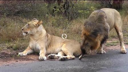 发情期狮子遇上母狮,下一秒憋住别笑,镜头记录全过程!