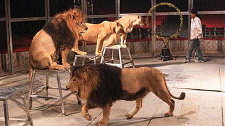 可怕!马戏团表演发生意外,一头雄狮突然扑向驯兽师