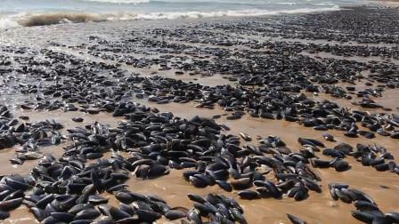 这种生物在美国五大湖泛滥,吃不了又杀不死,中国吃货也束手无策!