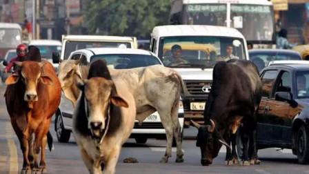 印度六万神牛街头流浪,靠吃垃圾生存,印度人:还能怎么办哪?