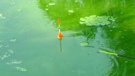 农村小哥钓鱼,鱼饵下水一会儿大鱼纷纷咬钩,看看是啥大鱼?