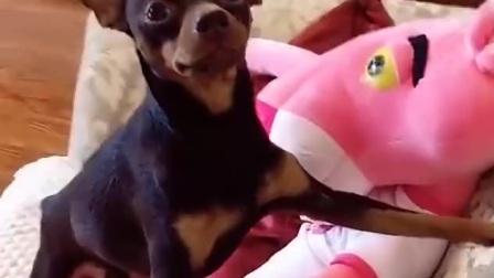 小鹿犬摆姿势拍照,当看到猪脸照片后,狗子秒变嫌弃脸,太逗了!