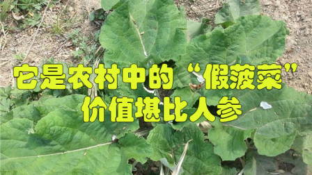 """它是农村中的""""假菠菜"""",价值堪比人参,很多人不认识"""