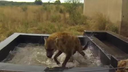 """动物世界:它比非洲鬣狗还""""无耻"""",连老虎都感到害怕,简直是异常凶残!"""