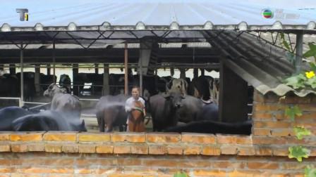 水牛奶和乳牛奶有什么不一样?养殖水牛竟这么困难!