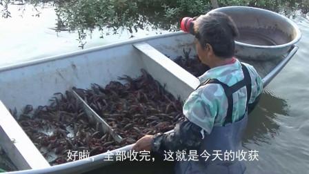 小龙虾上市高潮来了,实拍湖北农村小龙虾养殖场收获卖出全过程
