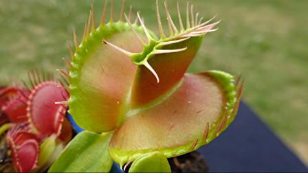 如果捕蝇草!两片叶子有畸形!会不会无法捕捉到昆虫!