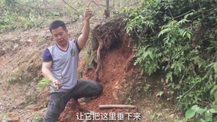 辣哥挖到一不知名的树桩,还是自然成型的悬崖式,做成盆景可行吗