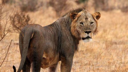 非洲狮子360全景视频