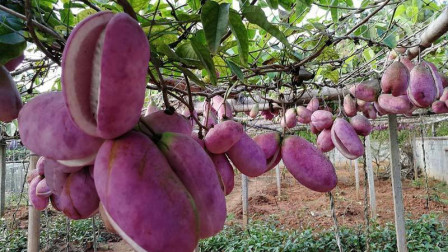"""长在树上的""""怪香蕉"""",看着像红薯吃起来是香蕉,在古代却是贡品"""