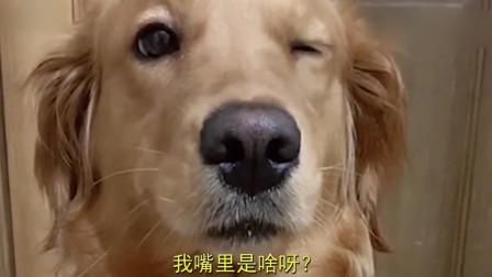 主人给金毛吃跳跳糖,金毛吃完后的表情简直太逗了!这是真坑狗啊