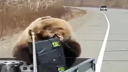 """哭笑不得!俄棕熊""""抢劫犯""""洗劫猎人食物后逃跑"""