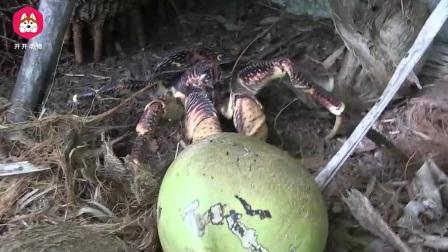 这种螃蟹生活在陆地上,会去树上摘椰子,吃椰子肉像是在吃果冻