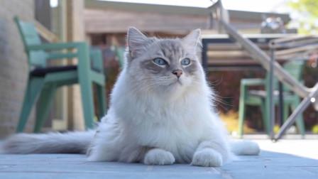 布偶猫:今日阳光正好微风不燥,朕来踏踏青,爬爬树会会友,岂不喵哉