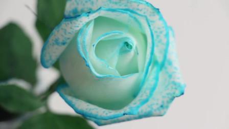 教你怎么把白玫瑰养出蓝色妖姬,方法实用又简单