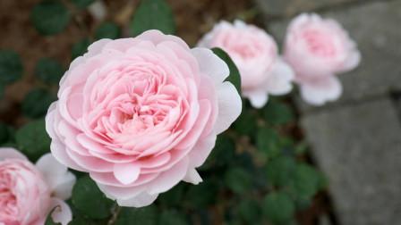 很多月季开花会垂头,瑞典女王不仅花型周正,并且直立不垂头