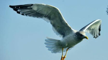 海鸥只是和老鹰对视了一眼,结果就付出了生命!