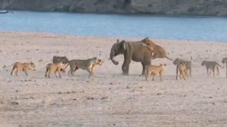 一群狮子围攻一头大象,最后被大象追着跑,场面太精彩