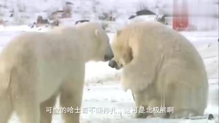 北极熊狠狠搂住哈士奇亲热,二哈的眼神充满不甘