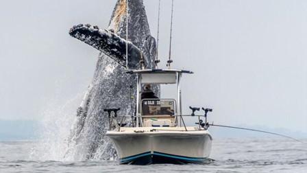 壮观 座头鲸突然跃起在小渔船正前方翻身表演