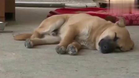 美女收养了一条很可怜的田园犬,每当睡着后就会哀嚎如同说梦话不要打我!