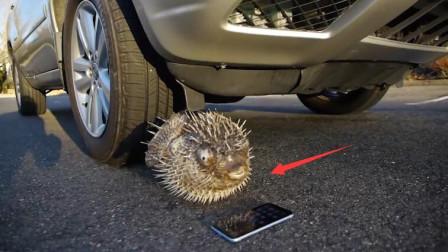 河豚VS苹果手机,哪个能扛住汽车轮胎的碾压?网友直呼好心疼