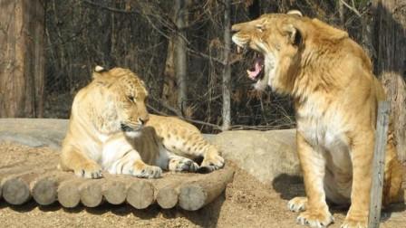 厉害了!豹子偷袭饲养员,还好老虎拦截,镜头拍下全过程!