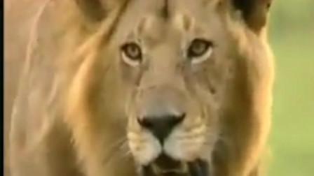 非洲猎豹挑战雄狮只为保护孩子,还好豹子跑得快狮子追不到!
