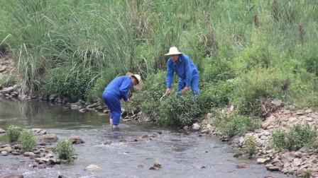 这种植物天生带辣味,能用来抓鱼还能粮酒,让农民又爱又恨!