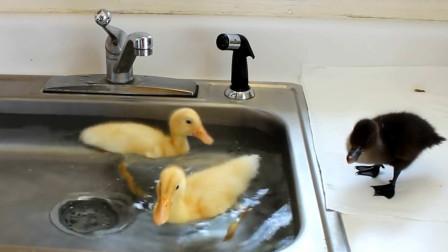 """厨房里,水槽内,性感小黄鸭在线潜水,这泳池可真""""大"""""""