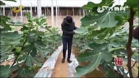 经过多年的挑选实验,从中选出3个优质无花果品种,适合冬季种植