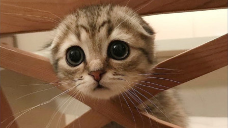 """传说中的""""牢底坐穿猫"""",别以为可爱就能随便养哦!"""
