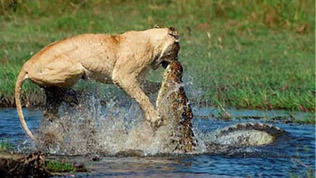 鳄鱼偷袭过河的狮子,直接一口咬住狮子,镜头拍下全过程