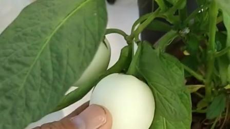 在家也可以种植人参果甜杏啦,看看农村小伙怎么做的,学起来