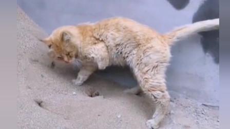 这猫咪只有三只脚,上完厕所也不忘讲究卫生,真是坚强的毛孩子!