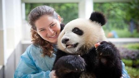 唯一一只被外国人退回来的熊猫,因为养不起,回国后却成了网红熊猫