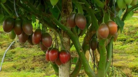这种番茄长在树上,一棵树结500多个番茄,你听说过吗?