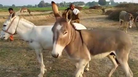 一只公驴和一只母驴相遇了,下一秒开始卖萌搞怪,都忍住别笑