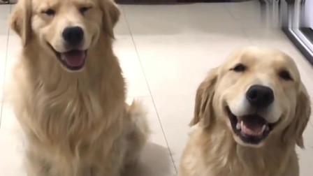 萌宠:主人回家,这俩金毛的坐姿也是没谁了,两金毛的小表情好可爱