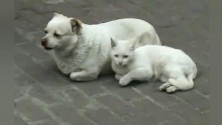 中华田园犬:嫁鸡随鸡,嫁狗随狗,这猫已随了我了!