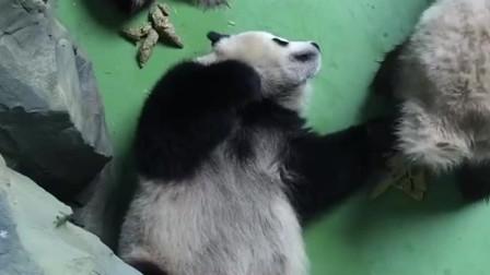 兩只大熊貓睡著了,一只大熊貓開始惡作劇了