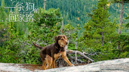 【电影推荐】外走丢的狗狗,翻过雪山和草原,走了长达四百英里终于归家!
